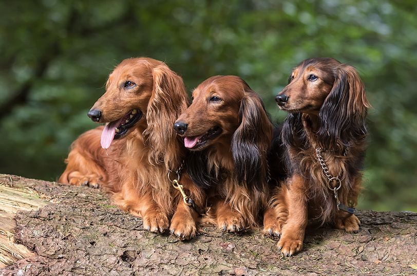 Dachshund Puppies for Sale in Tampa, Jacksonville & Lakeland Florida
